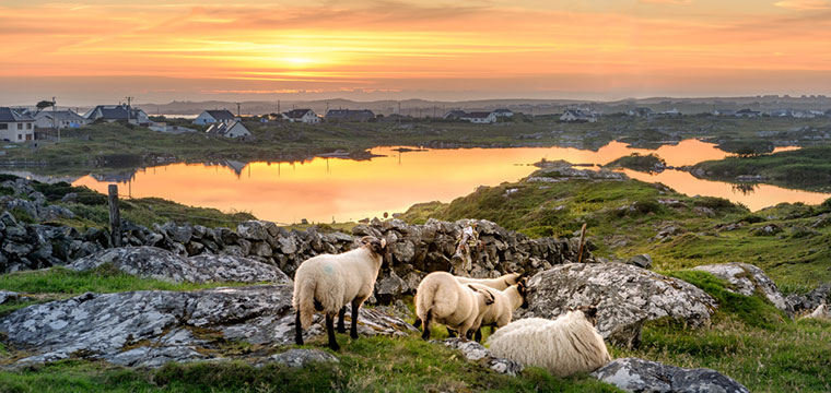 Take in an Ireland Sunset with wild sheep near Clifden