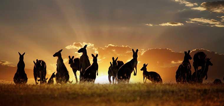 Australian outback kangaroo