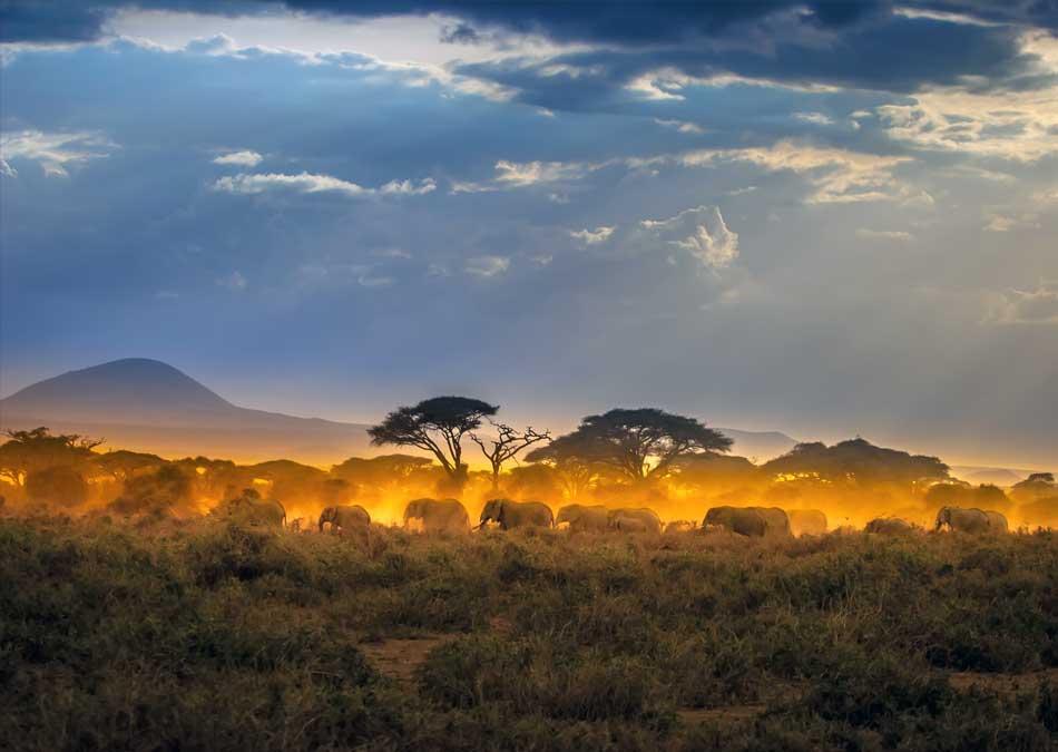 Elephant Herd Savannah