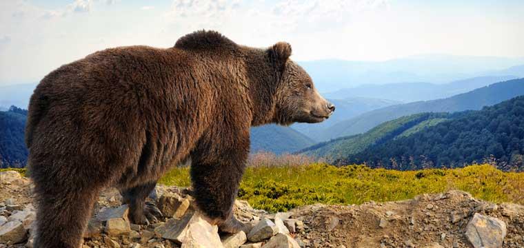 Big Brown Bear in Alaska