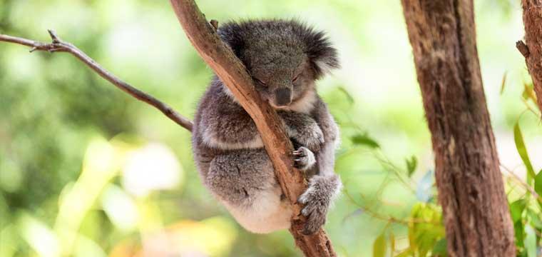 Koala Cairns, Australia