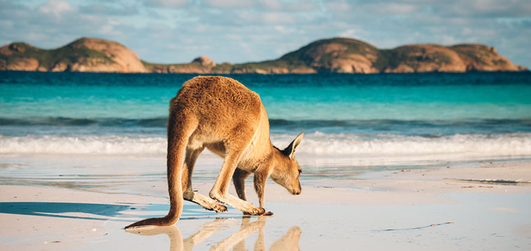 A Kangaroo at Lucky Bay in the Cape Le Grand National Park