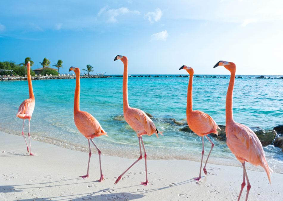 Find pink flamingo's on Aruba island